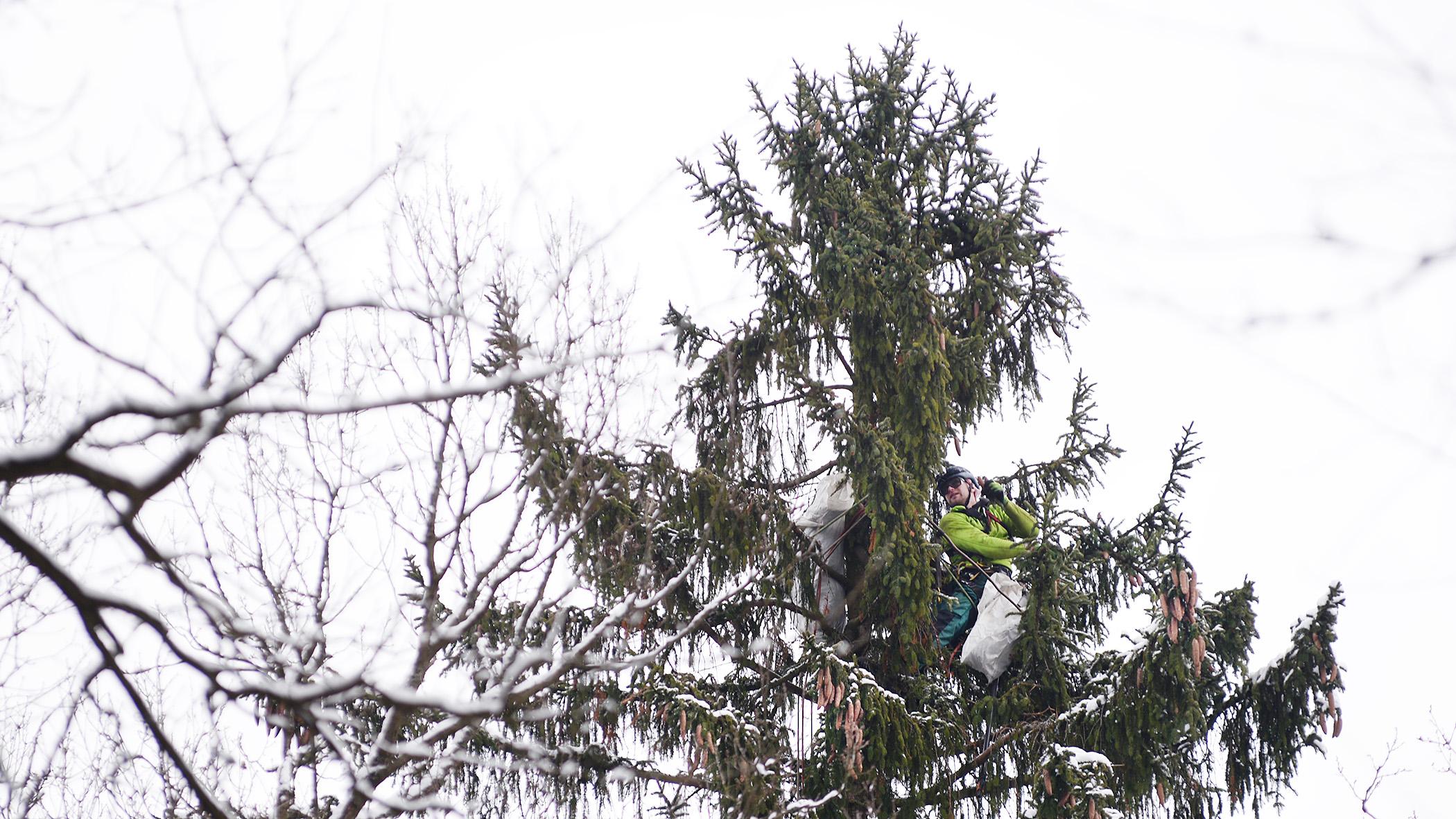 Lezec Martin Foltánek sbírá šišky na samém vrcholku 20metrového smrku