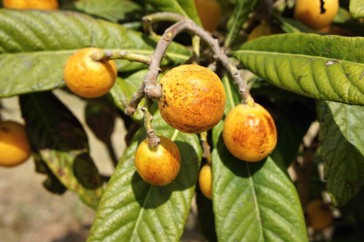 Plody mišpule na stromě