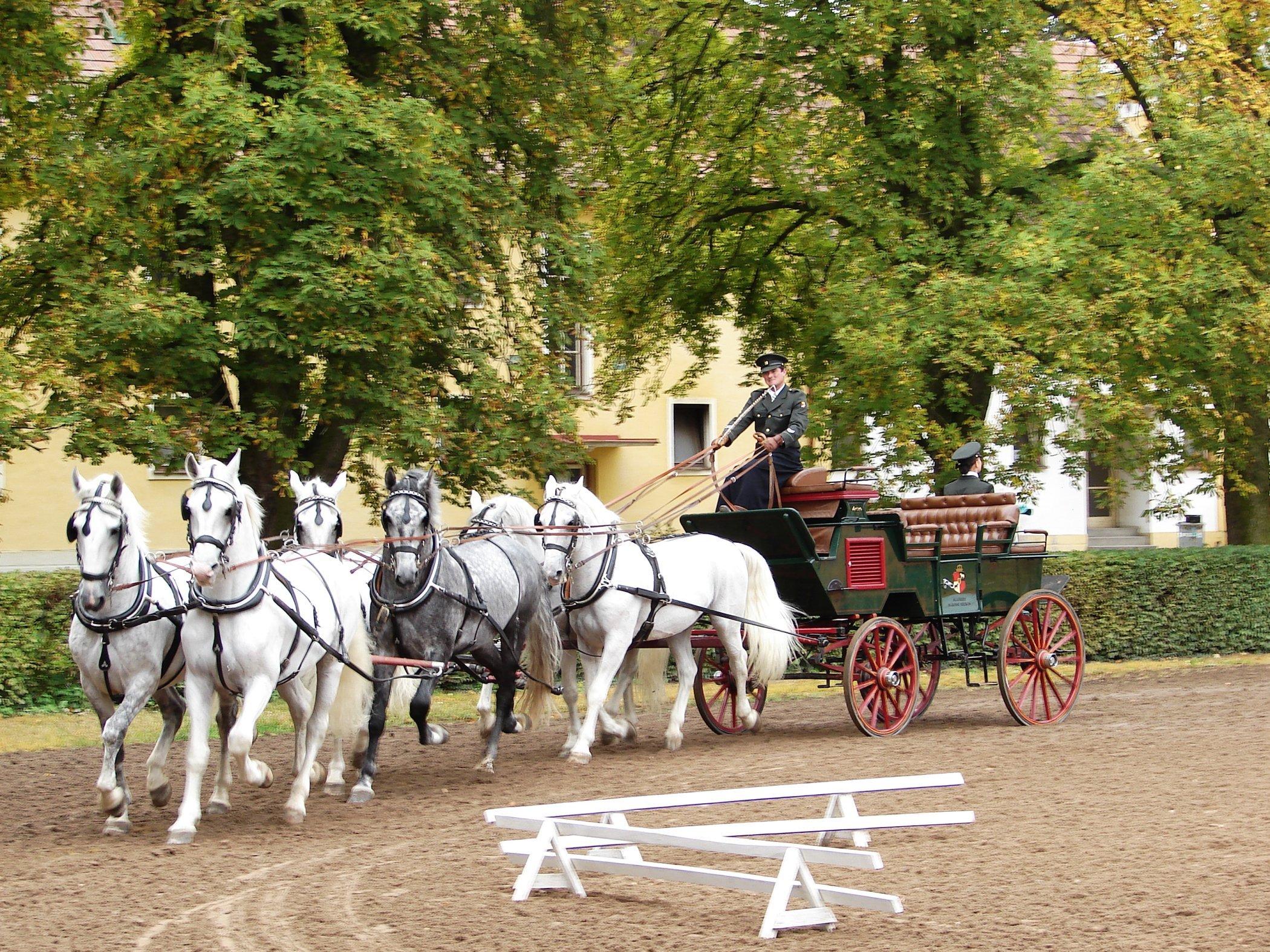 Starokladrubští koně v akci