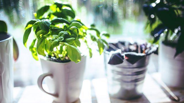 Bylinky pěstované na zahradách, balkonech bytů či parapetech oken se staly hitem