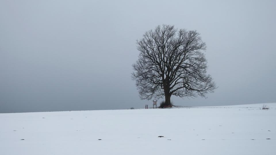 Strom Rodáků, velký javor na okraji Bystrého u Poličky stojí dodnes