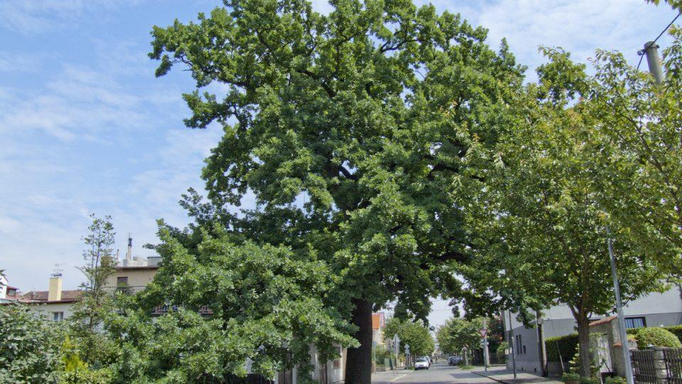 Památný dub letní v Pardubicích
