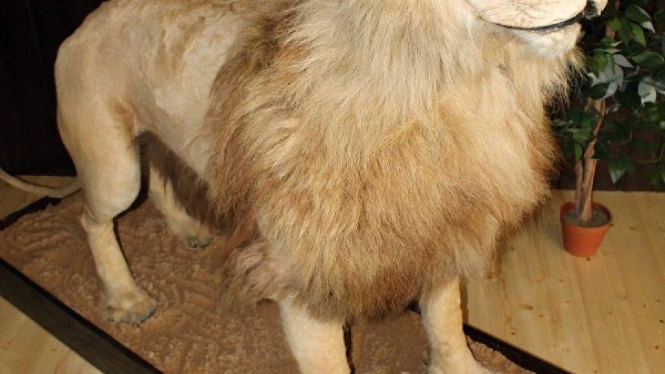 Holubův oblíbený lev Princ Karel.
