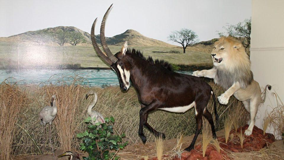 Z  působivé lovecké scény až zamrazí. Lev však antilopu nikdy neuloví.
