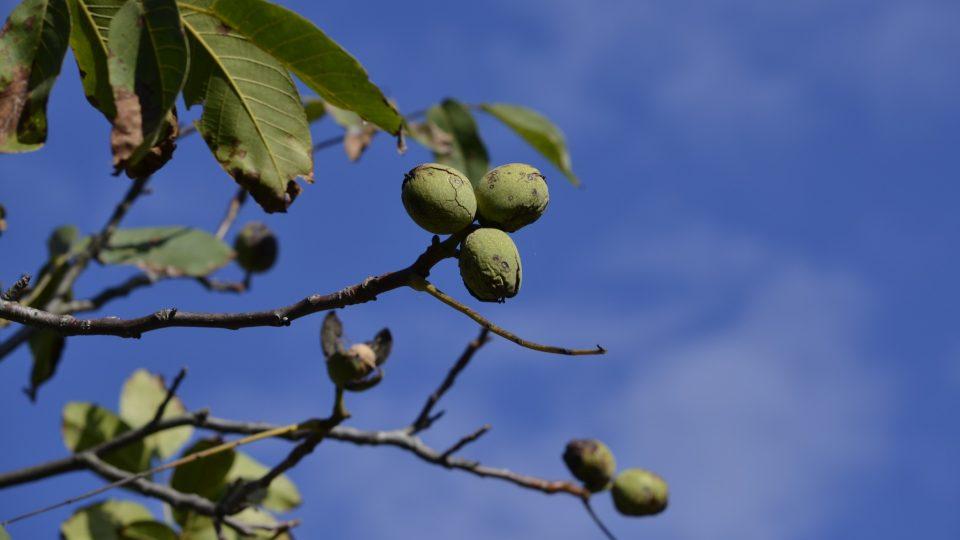 Ořechy pukají už na stromě