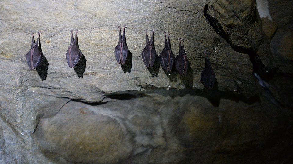 Zimující vrápenci se v zimě na rozdíl od některých dalších druhů netopýrů neshlukují