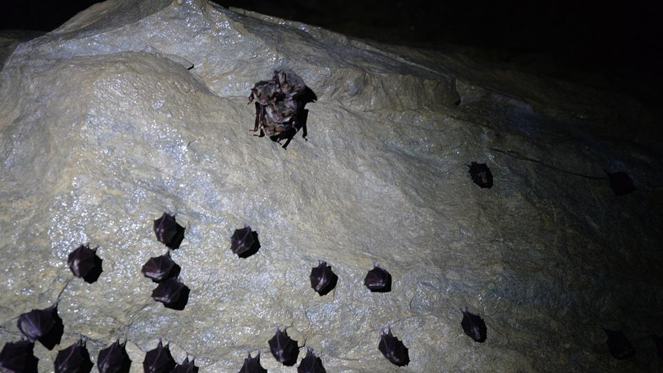 Vrápenec malý a shluk netopýrů velkých (v horní části snímku)