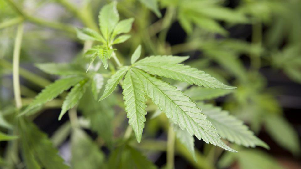 Pracoviště pro výzkum pěstování léčebného konopí,Meclovská zemědělská a.s., konopí, marihuana, léčivo