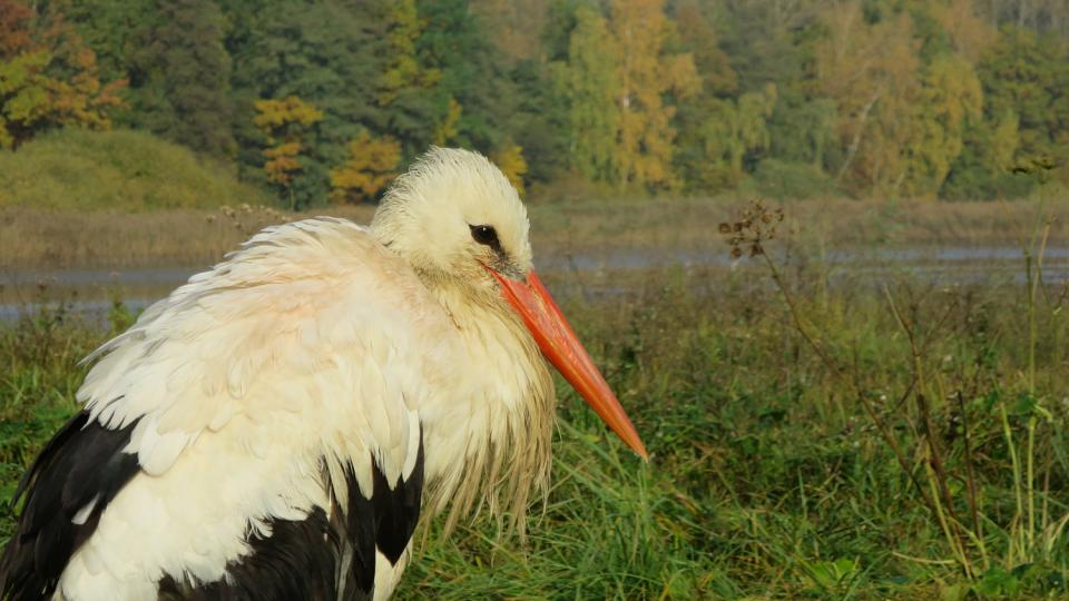 Čáp bílý na břehu Bohdanečského rybníku