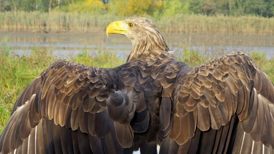 Pár orlů mořských ještě před pár dny obýval les nedaleko Jamného u Jihlavy