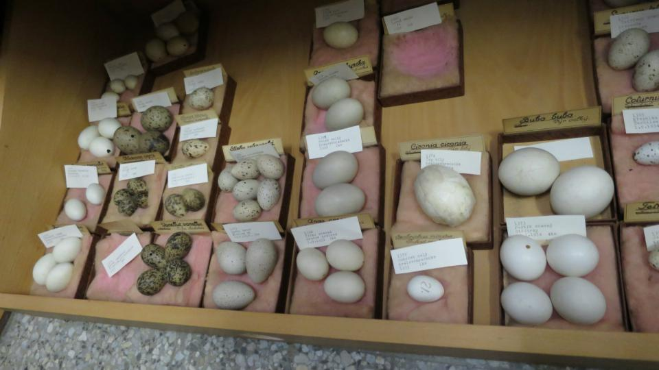 Součástí zoologické podsbírky je také kolekce ptačích vajec