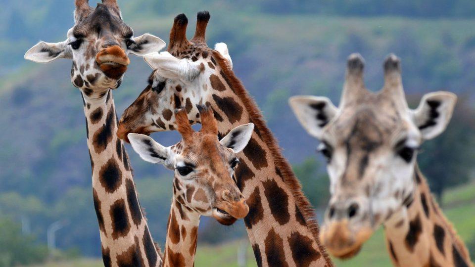Africká savana a žirafy