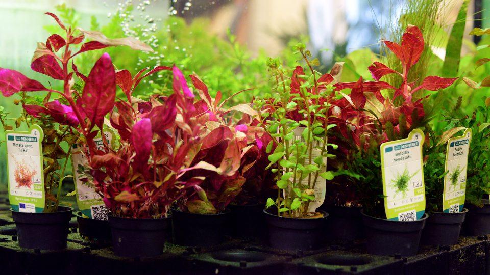 Do pořádného akvária patří živé rostliny