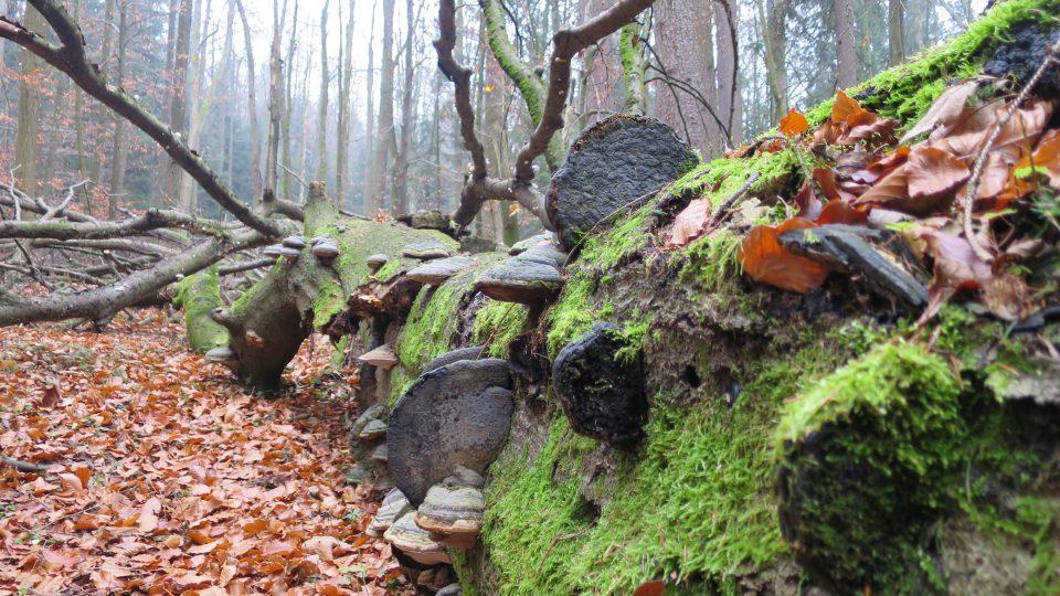 V přírodní rezervaci Polom se vyskytuje až 400 druhů hub