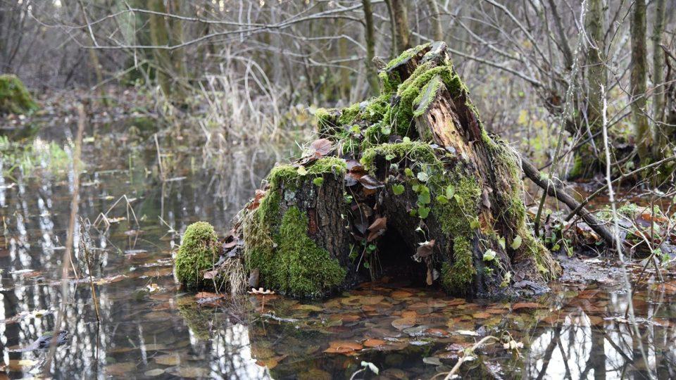 Lužní Úhřetický les je plný bludiček a rusalek.