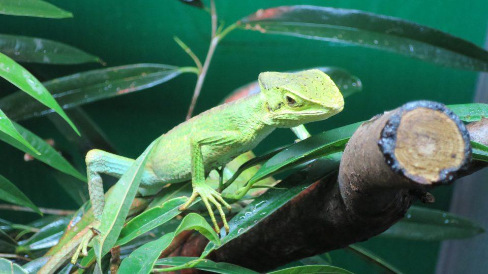 Škola chová jak pouštní, tak i pralesní gekony. Na snímku Laemanctus longipes, bazilišek dlouhonohý