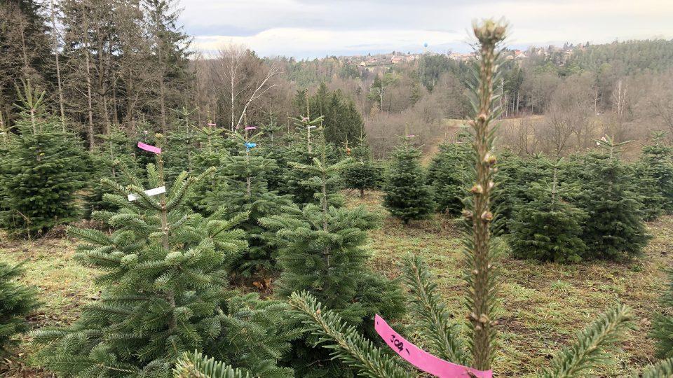Plantáž vánočních stromků v Českých Lhoticích