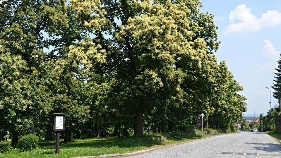 Kaštanka v Nasavrkách kvete hlavně v červnu