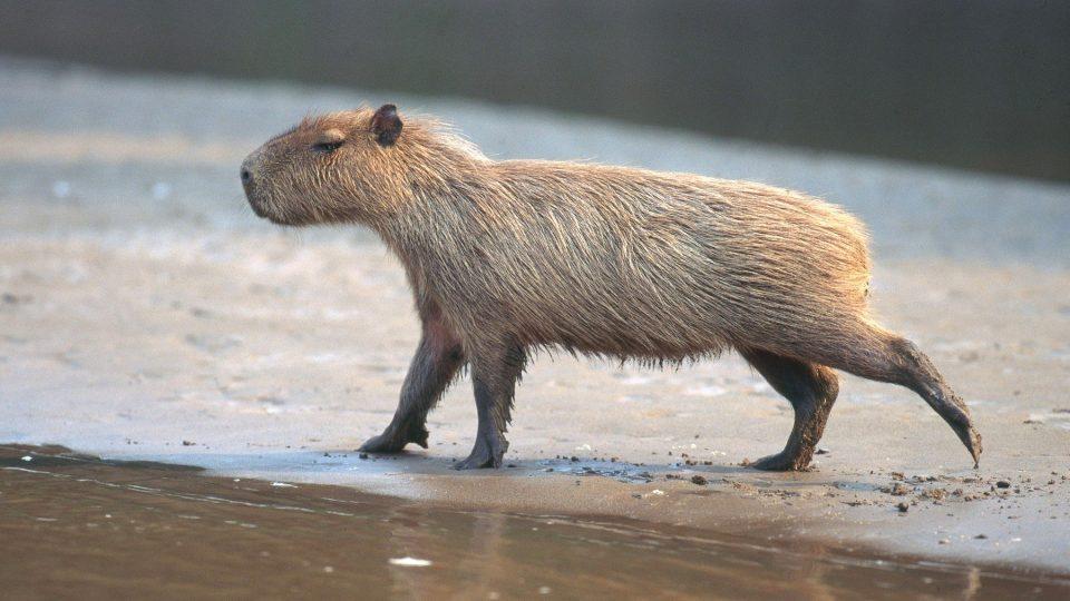 kapybary_mohou_vazit_az_80_kg.jpg