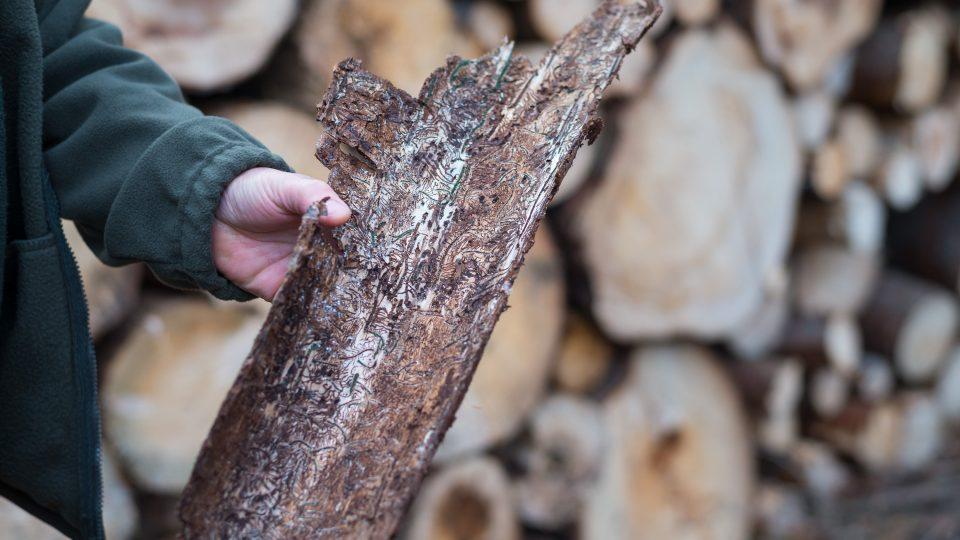 """Lesník Milan Morch ukazuje """"cestičky"""" kůrovce"""