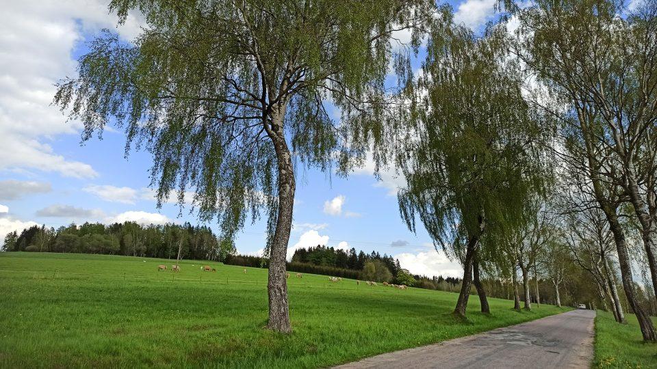 Břízy jsou typickým stromem pro Kameničky a okolí
