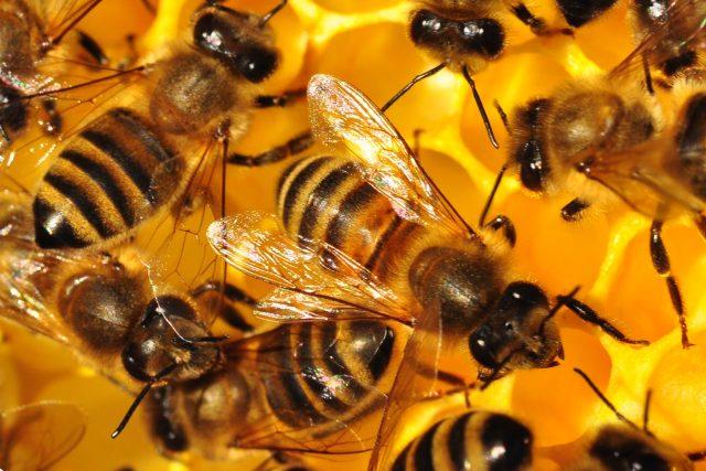 Včely se zabydlely ve Východočeském muzeu v Pardubicích