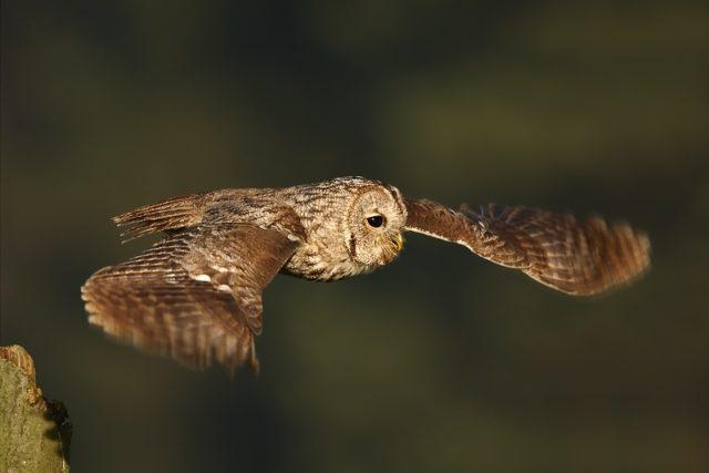 Puštík obecný v letu