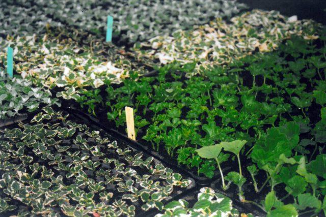 Výsevy a pikýrování semenáčů a řízků