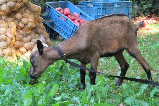 Koza na Slavnostech Farmářského léta v pražském Karlíně | foto: Pavel Kozler