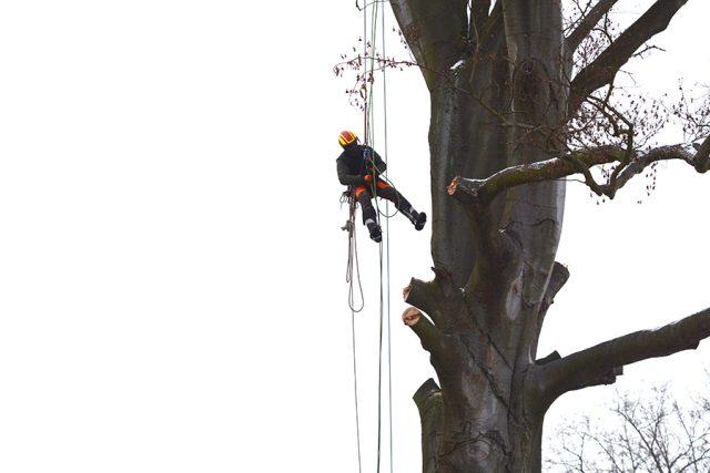 Stromolezec postupuje výš k další větvi