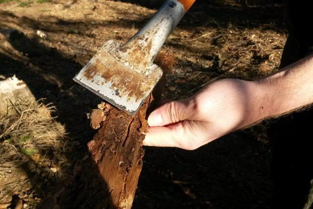 Jaroslav Mátl ukazuje kůru stromu, kterého napadl lýkožrout