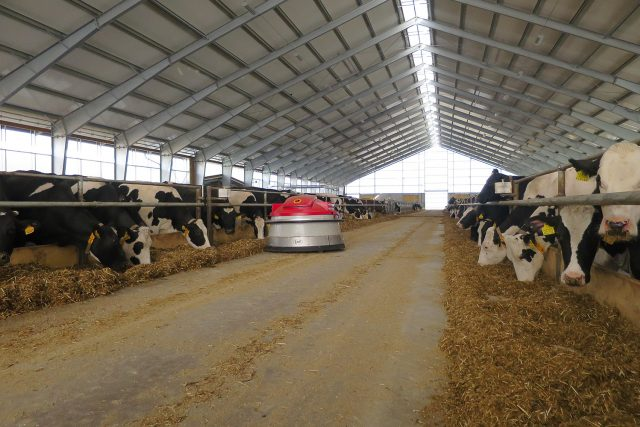 Přihrnovací robot pracuje zcela samostatně, krávy tak mají vždy v krmné chodbě potravu