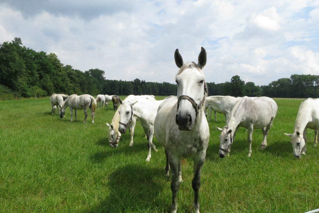 Starokladrubští bělouši na pastvině