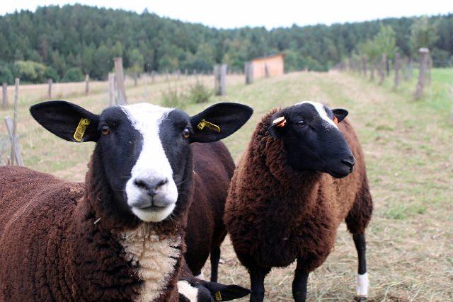 Tři prasata a dvě ovce netrpělivě očekávají krmení