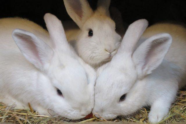 Český černopesíkatý králík je národním plemenem
