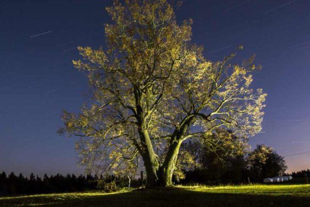 Česká lípa z Lipky skončila v letošním ročníku o nejkrásnější evropský strom třetí