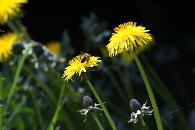 Počasí, slunce, včela, pampeliška