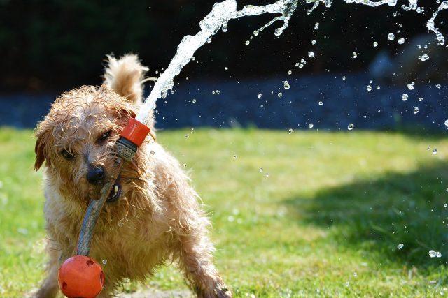 I psům v létě hrozí přehřátí