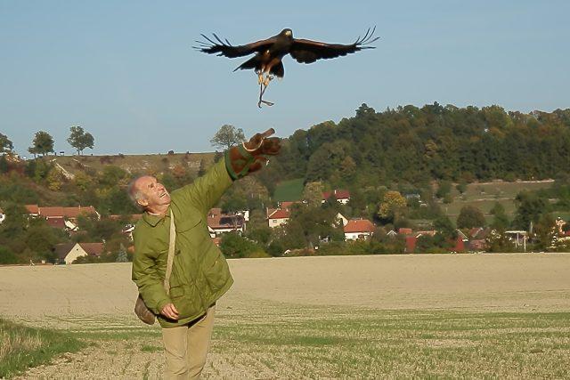 Volné létání se sokolníkem Luborem Křivkou a kání Harrisovou Zuzankou