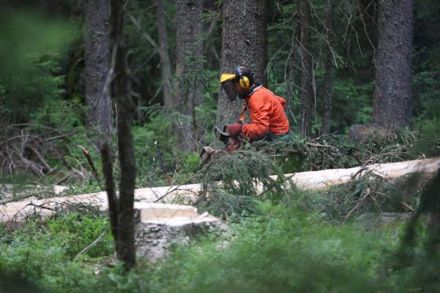 Kácení kůrovcem napadených stromů