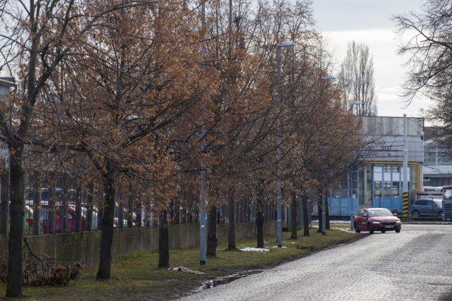 Lípy v ulici K Vápence v Pardubicích se město pokusí přesadit