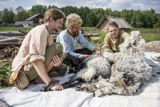 Stříhání ovcí v Keltském archeoskanzenu Nasavrky