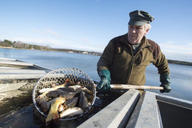 Rybáři po nákaze herpes virem vrací ryby do rybníka Buňkov