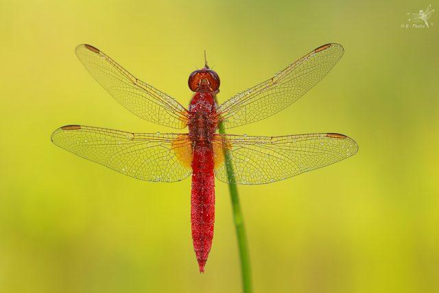 Vážka červená, sameček