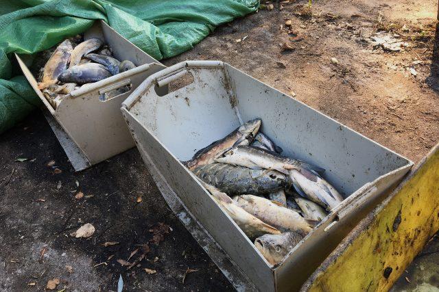 Rybáři loví z rybníka Buňkov mrtvé ryby. Jsou nakažené herpes virózou