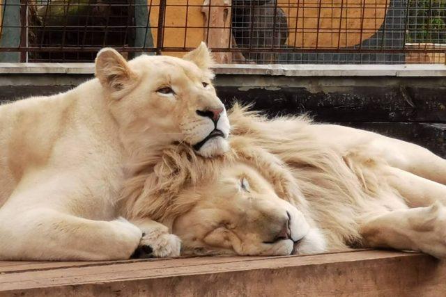 K velkým atrakcím parku ve Chvojenci patří pár bílých lvů,  Sněženka a Forest | foto: Zoopark Kočkovité šelmy Chvojenec
