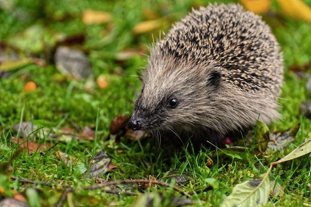 Na pozoru se mějte i před zdánlivě neškodným ježkem