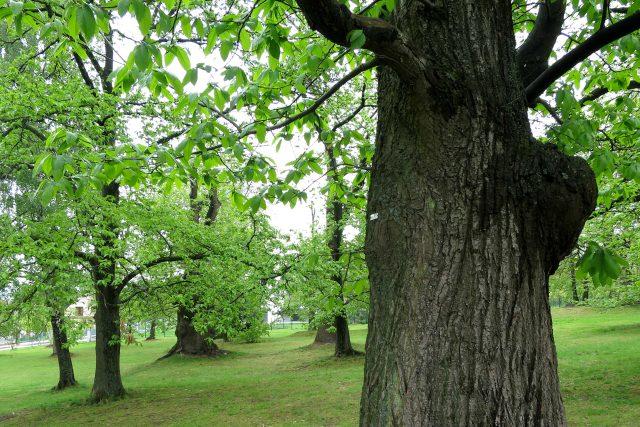 Kaštanka Nasavrky je přírodní památka, některé stromy ještě pamatují dobu založení sadu
