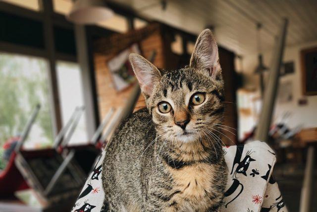 Kočka v kočičí kavárně v Pardubicích