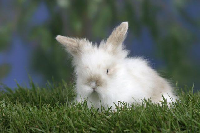 Malý pětitýdenní králík Teddy